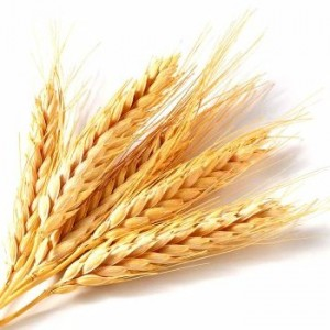 is wheat causing Gluten Sensitivity